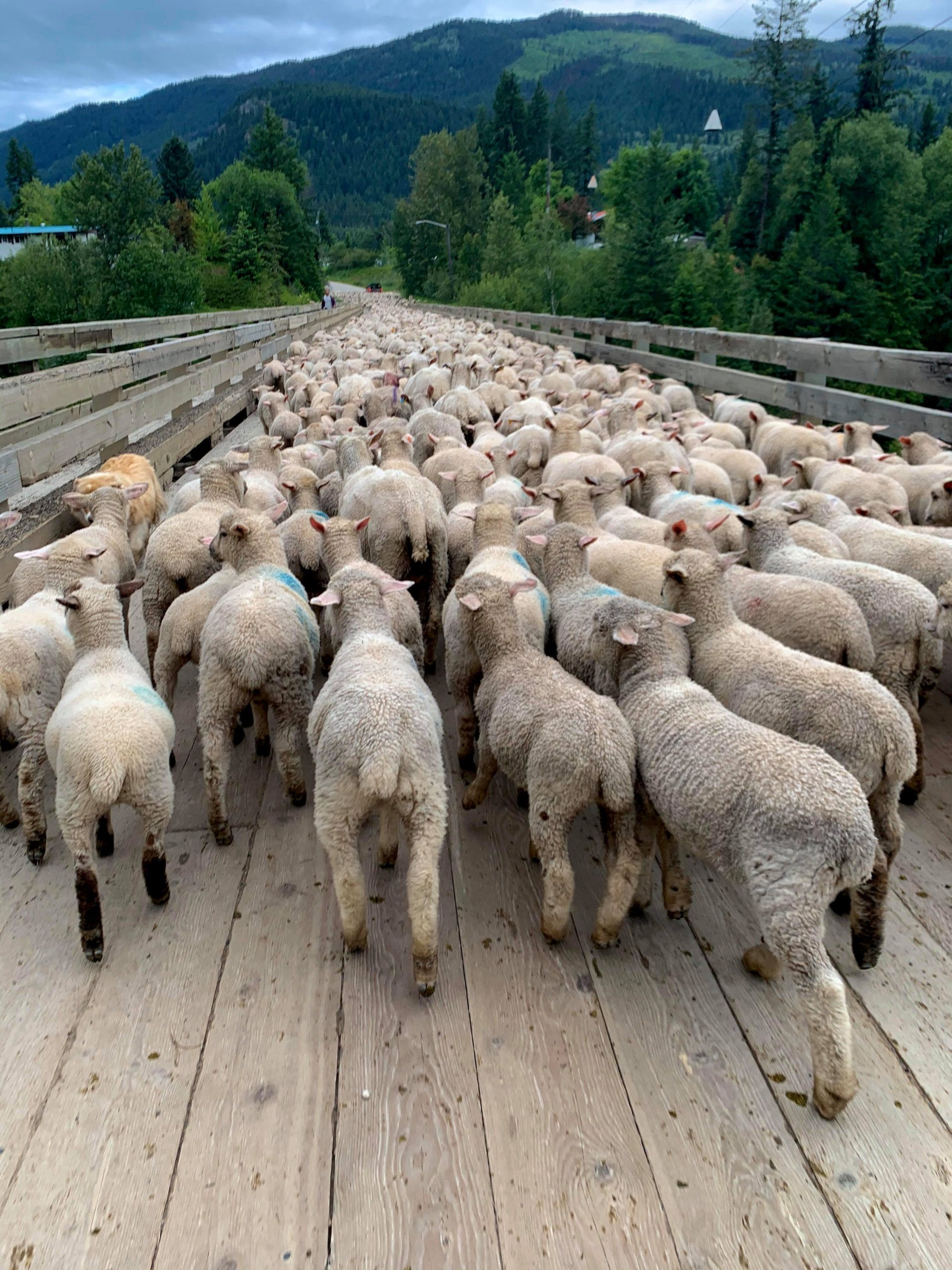 Wise Leaders Raise up Lead Sheep